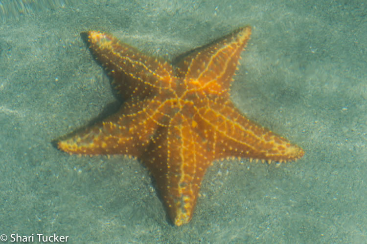 Photo of Starfish at Starfish Beach in Bocas del Toro, Panama